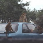 AfricanLionSafari-Baboons